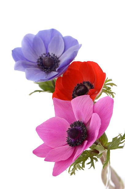 Three Beautiful Poppies stock photo