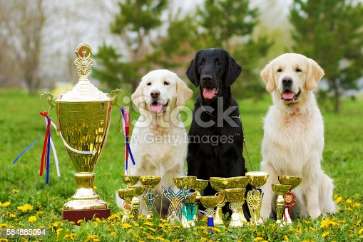 istock three beautiful purebred dogs Labrador Retriever and two Golden 584885094