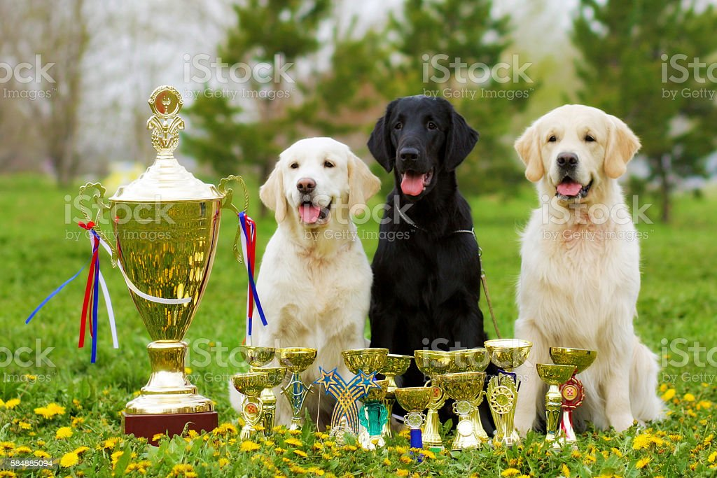 three beautiful purebred dogs Labrador Retriever and two Golden stock photo