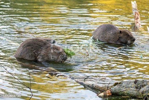Three beaver in the evening.