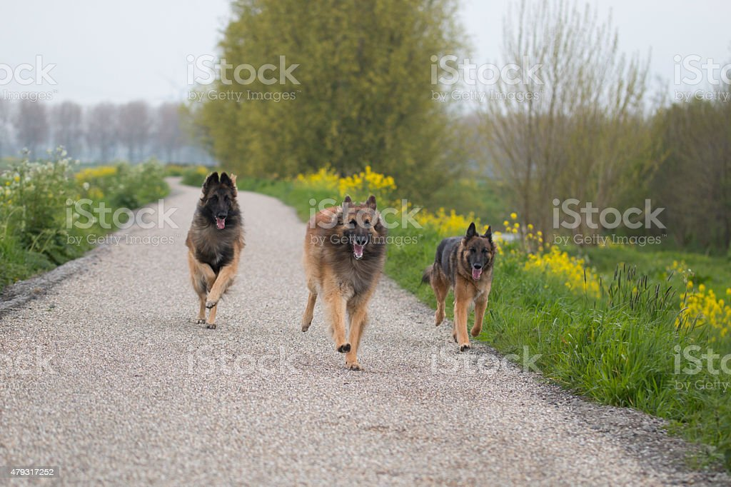 Tres pastor belga Tervuren perros corriendo al aire libre - foto de stock