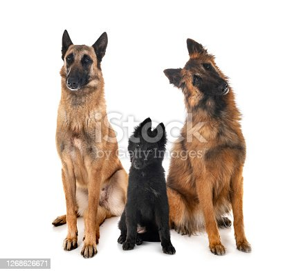 three belgian shepherds in front of white background