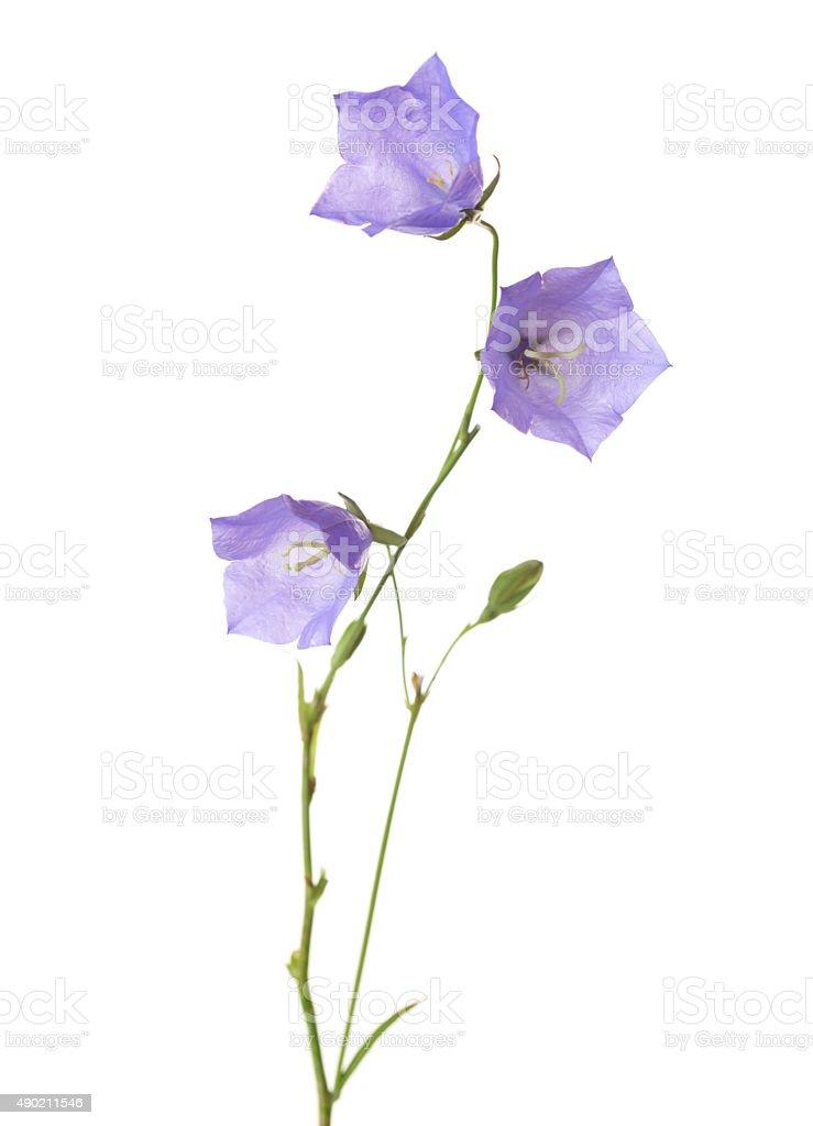 Three bellflowers stock photo