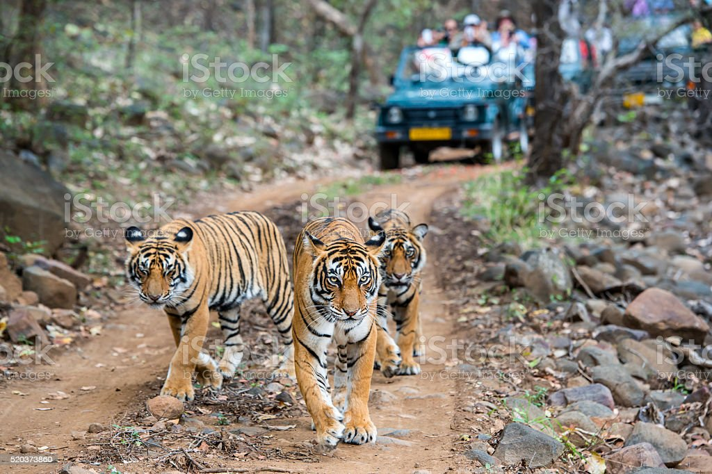 Three bengal tigers in front of tourist car stock photo