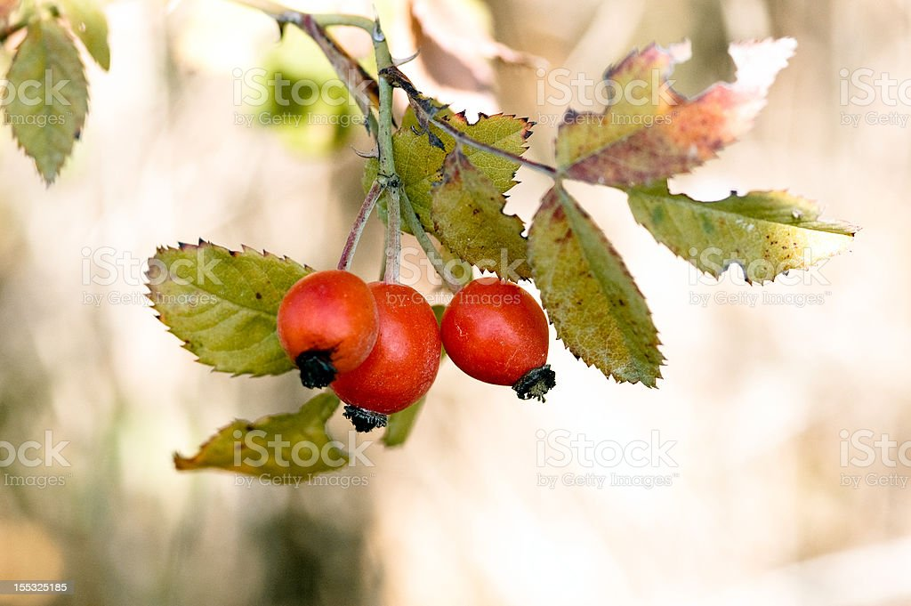 Three berries of a dogrose royalty-free stock photo