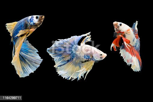 istock Three Betta fish. 1164299711
