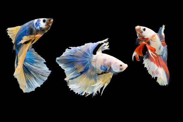 Tres peces Betta. - foto de stock