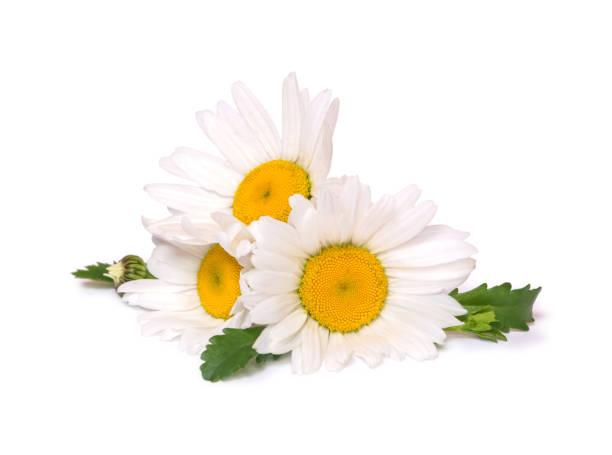 manzanilla de tres margaritas grandes aislada sobre fondo blanco. grupo de flores de primavera. - planta de manzanilla fotografías e imágenes de stock