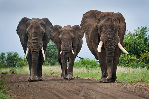 "Three Big Elephants on a Dirt Road ""Three big elephants blocking a dirt road in Kruger National Park, South Africa."" kruger national park stock pictures, royalty-free photos & images"