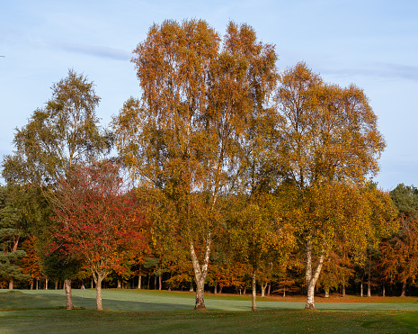 Three birch trees in colors of autumn on practice green at Royal Curragh golf club