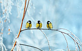 three birds little Tits sit on a tree branch during snowfall in festive winter new year Park