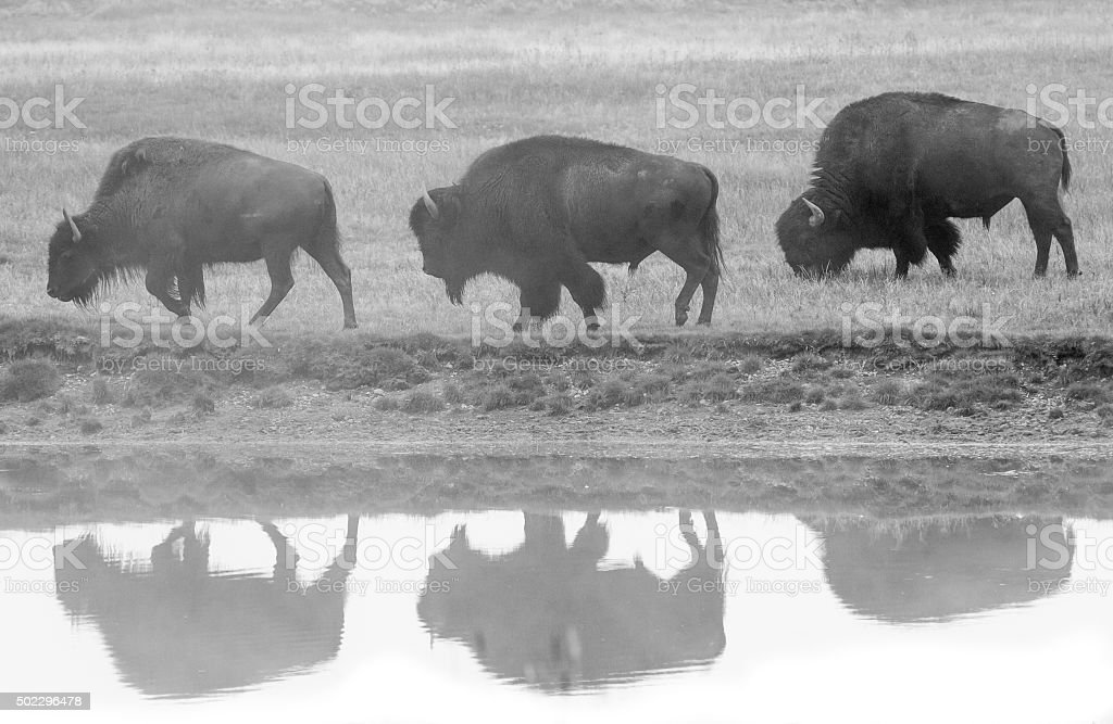 Drei bison-Profil und Reflexion – Foto