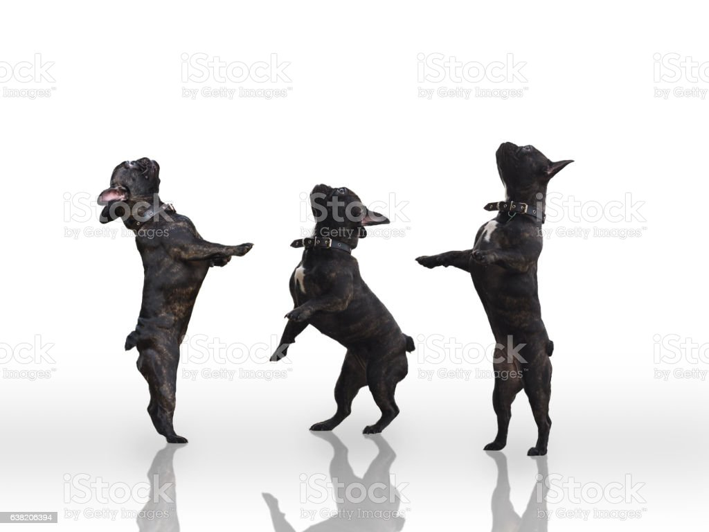Three black dogs standing on their hind legs. stock photo