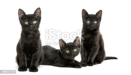 824824466 istock photo Three Black kittens looking at the camera, 2 months old 465221123
