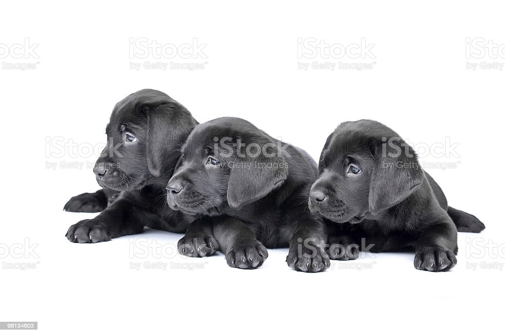 Three black lab puppies, two  months old. royalty-free stock photo