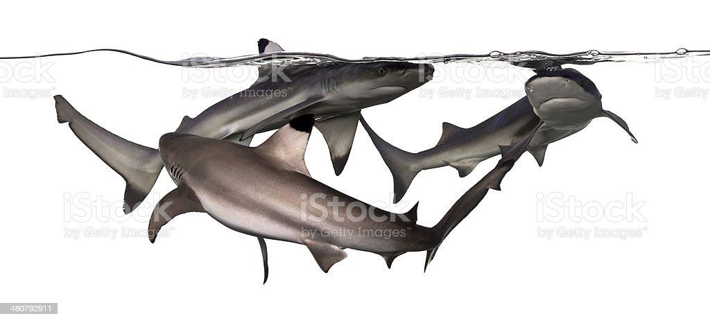 Three Blacktip reef sharks swimming at the surface stock photo