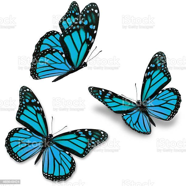 Three blue monarch butterflies on a white background picture id465649424?b=1&k=6&m=465649424&s=612x612&h=mybl3mw2kysncshli1izx cs6m81yixw8qunxh25cdi=