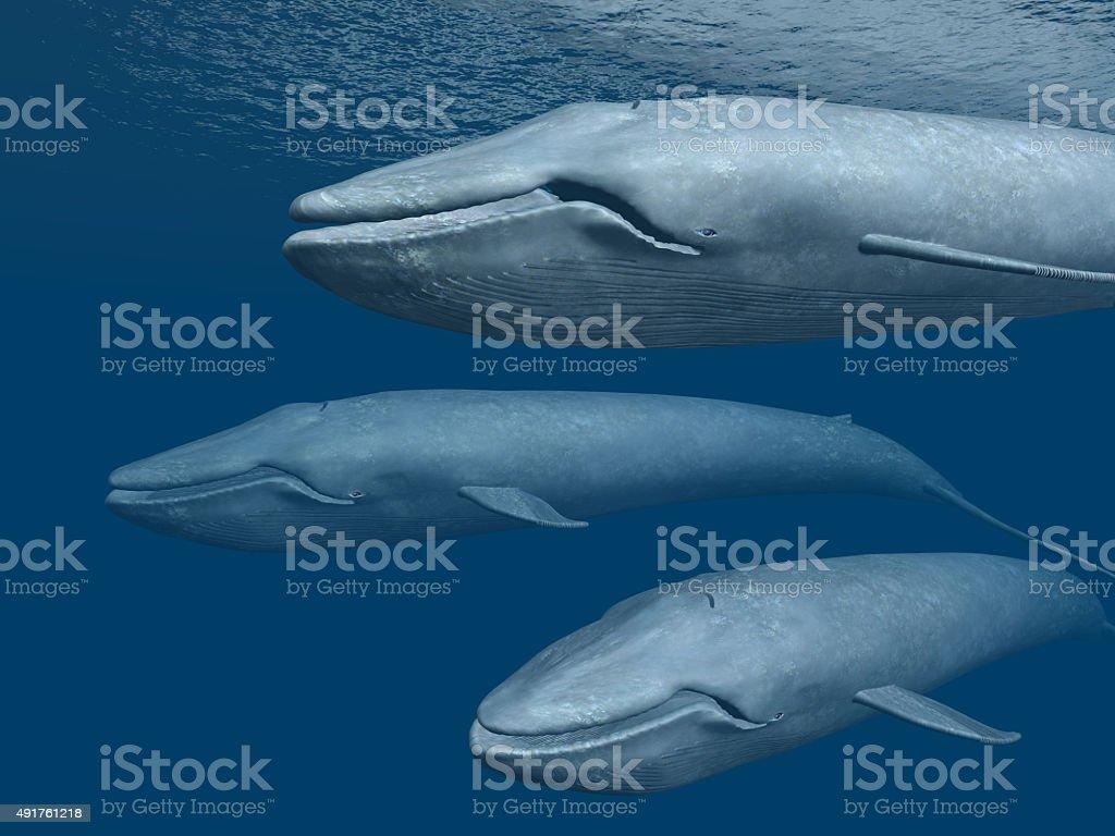 Three Blue Whales stock photo