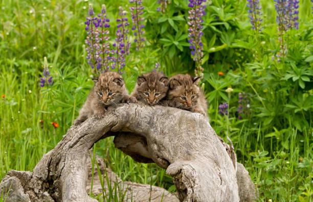 Three bobcat kittens on a log picture id657215122?b=1&k=6&m=657215122&s=612x612&w=0&h= lsyfewgzojywchpo9ndp2okrtkcng rujwugpcobt8=