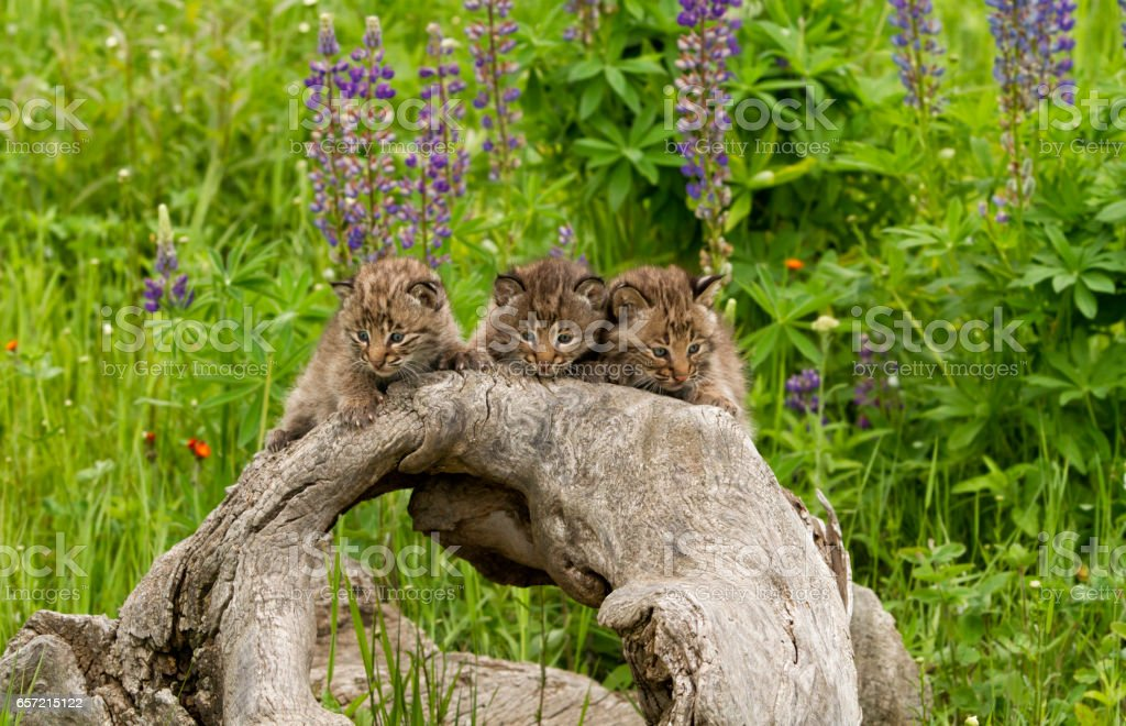 Three Bobcat Kittens on a Log stock photo