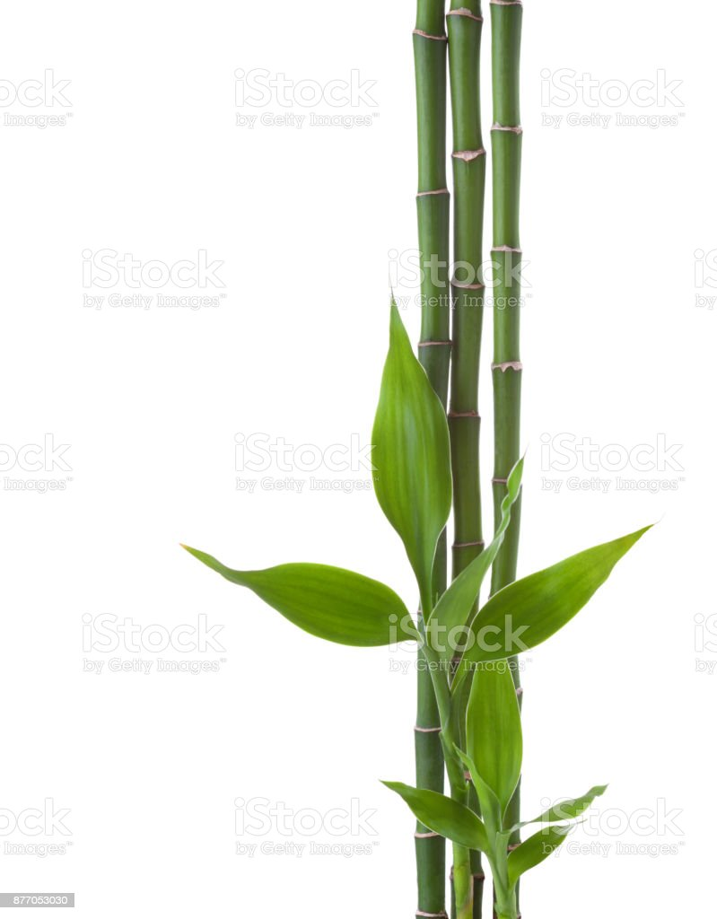 Three branches  of  Bamboo isolated on white background.  Sander's Dracaena stock photo