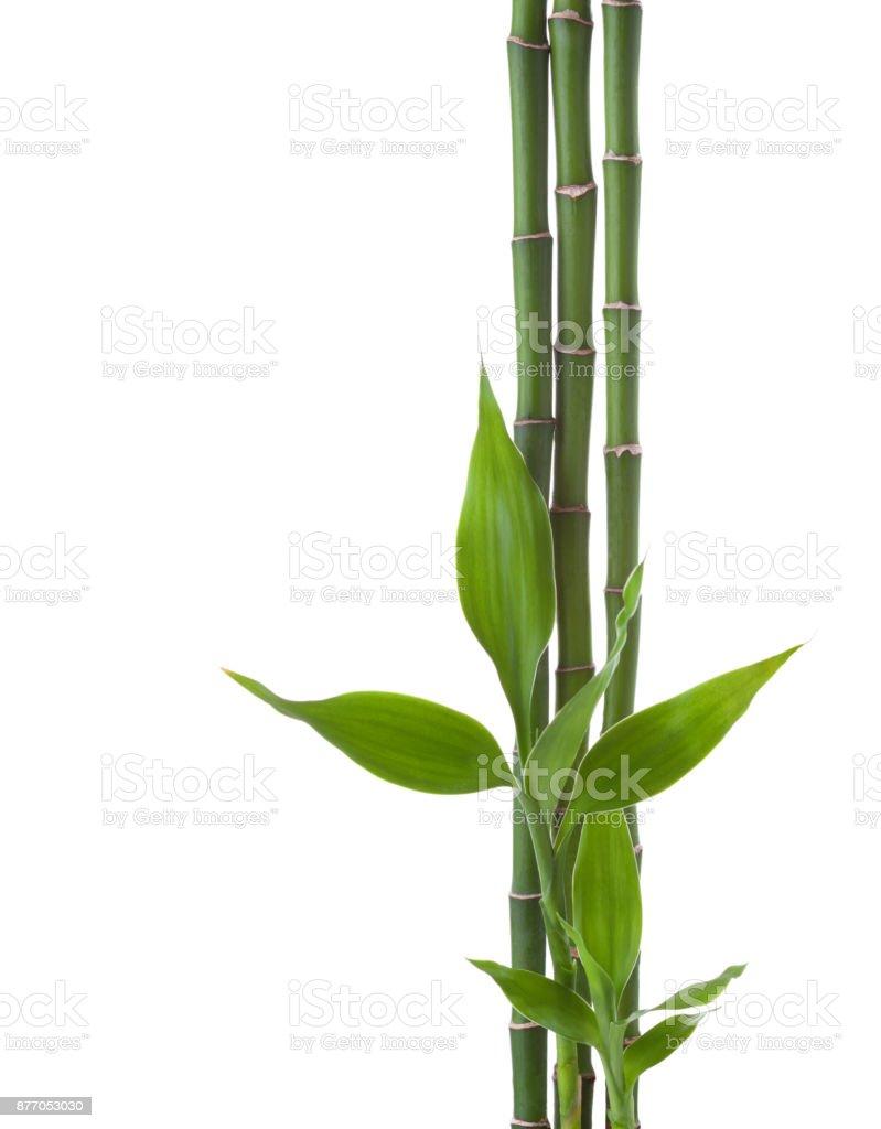 Drei Zweige der Bambus isoliert auf weißem Hintergrund.  Sanders Dracaena – Foto