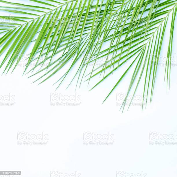 Three branches of palm trees on a white background picture id1162827923?b=1&k=6&m=1162827923&s=612x612&h=0ql92ifwnqkxjltlpso3 p65ql6d ig0tqwxakp9lgm=
