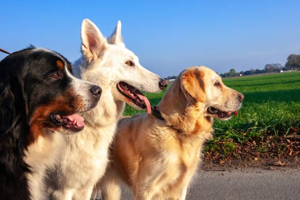 üç doğurmak-in köpek birlikte ayakta - safkan köpek stok fotoğraflar ve resimler