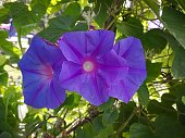 Purple radial stripes going from the center to borders on background of sunlit green leaves. Bright summer flowers