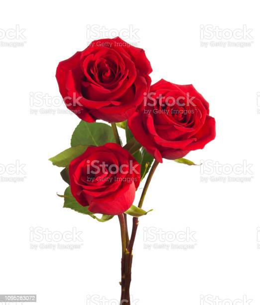 Three bright red roses isolated on white background picture id1095283072?b=1&k=6&m=1095283072&s=612x612&h=wiy6ptjrtdiiprrksyi7avxodfamksijtzuwcikq8de=