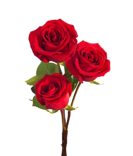 trois roses rouges lumineuses isolés sur fond blanc. - damas en matière textile photos et images de collection