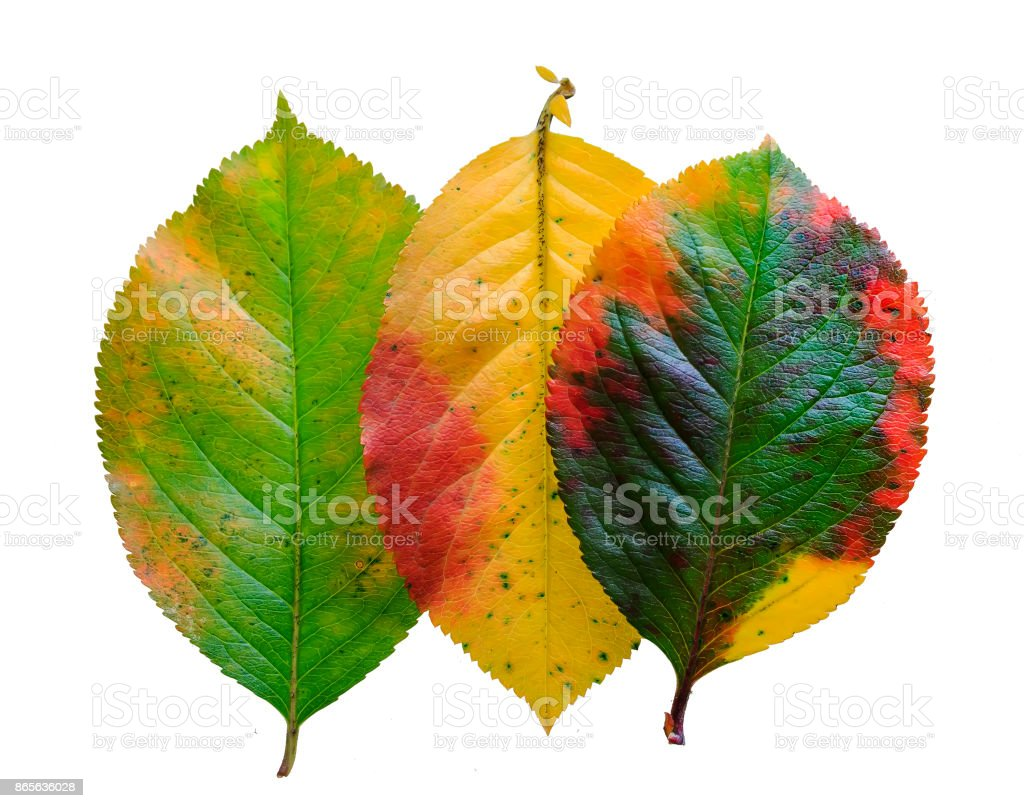 three brightly colored autumn leaf pattern Apple on white isolated background stock photo