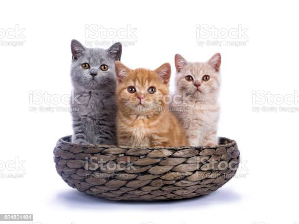 Three british shorthair kittens sitting in basket isolated on white picture id824824484?b=1&k=6&m=824824484&s=612x612&h=riruq2uszwquih8tdzexgotp71 bohtc0uroq7eca28=