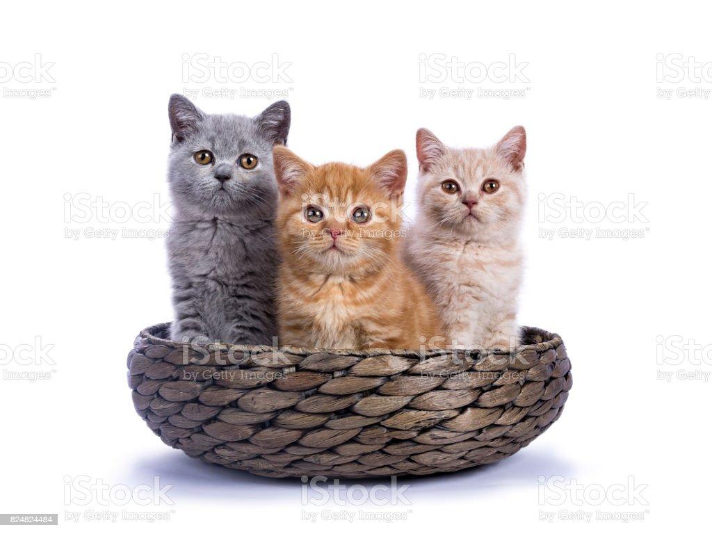 Drie Britse korthaar kittens zitten in mand geïsoleerd op een witte achtergrond / geconfronteerd met camera foto
