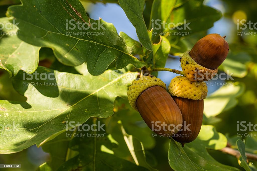 Three brown acorns on autumn oak tree stock photo