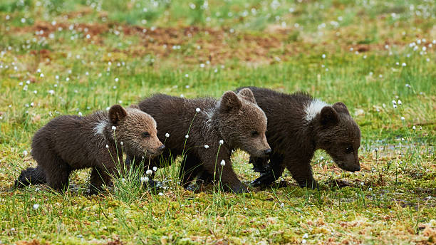 trois ours brun cubs - ourson photos et images de collection