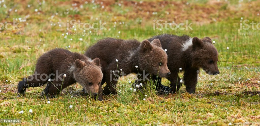 THree Brown bear cubs stock photo