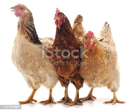 Three brown chicken isolated on white background.