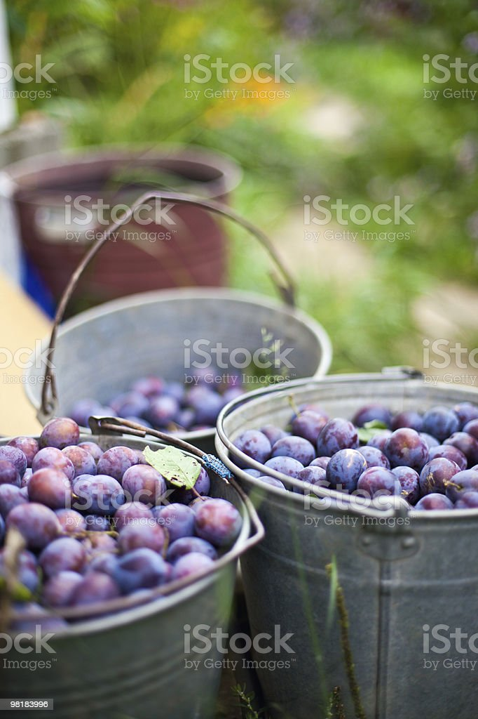 three bucket of plums in a garden royalty-free stock photo