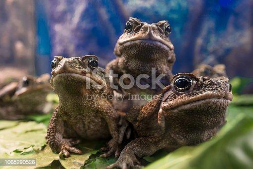 three bufo marinus on blue background