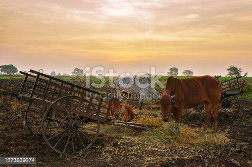 An Indian rural scene showing three bulls & cart in golden light.