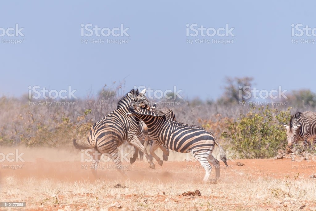 Three Burchells Zebra stallions fighting stock photo