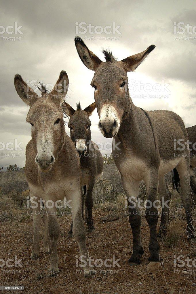 Three burros stock photo