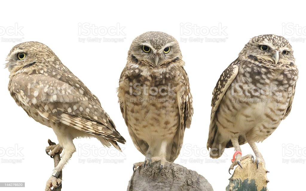 Three Burrowing Owls royalty-free stock photo
