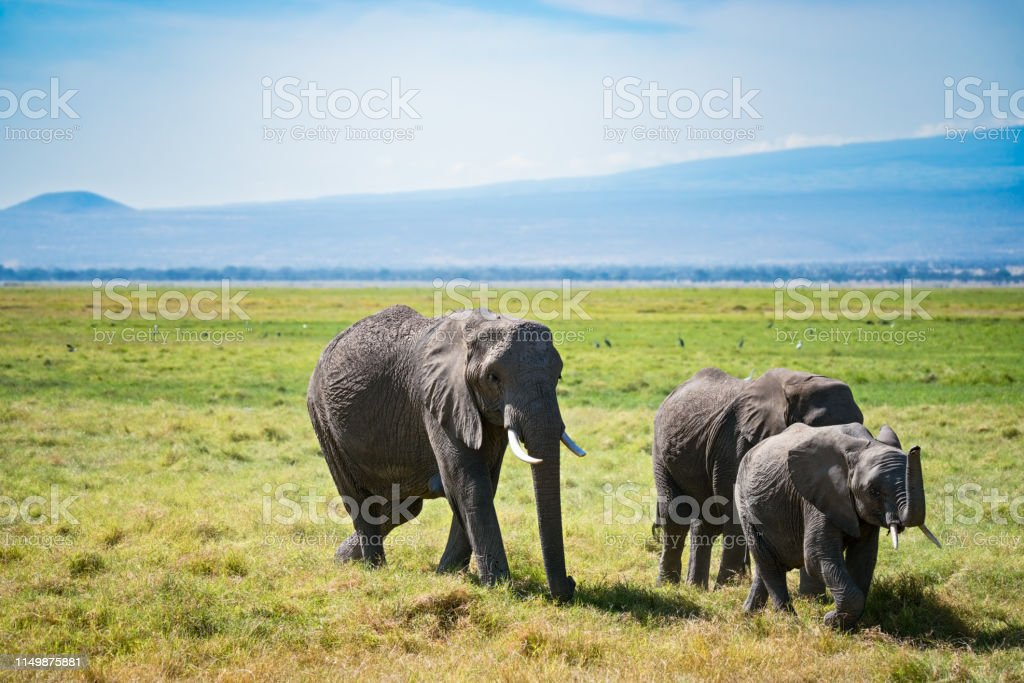 Three bush elephants stock photo