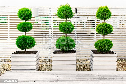 Three bushes trimmed in the form of balls on top of each other in large wooden flower pots painted white paint on a background of a fence made of wood bars. Landscaping in the park on a sunny day.
