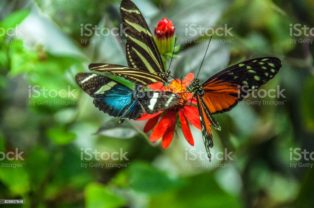 Three butterflies one flower stock photo