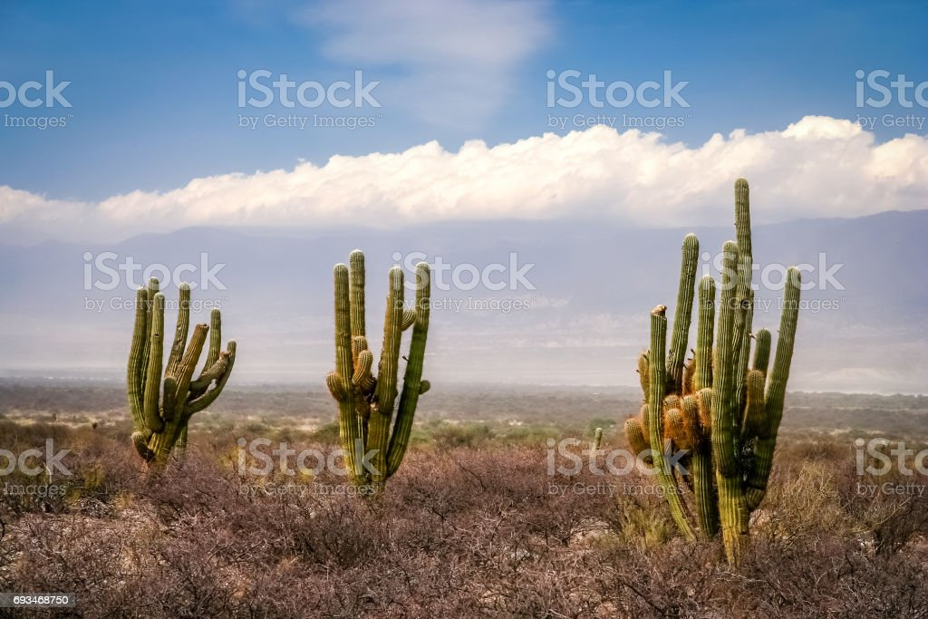 Three cactuses in pampa stock photo