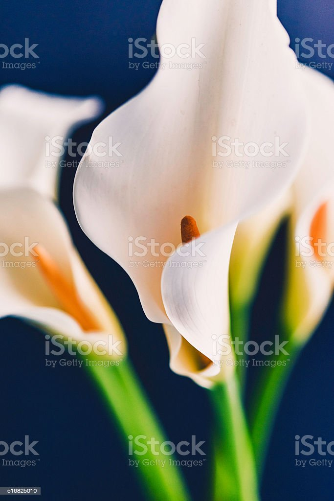 Three calla lily blooms shot against black background stock photo