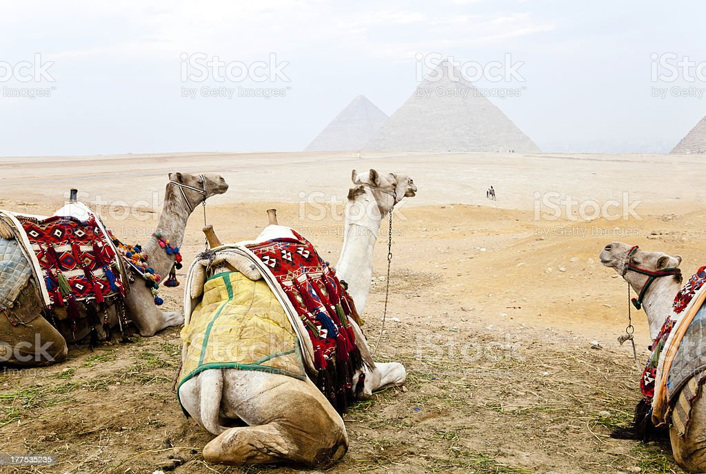 three camels and the pyramids of giza royalty-free stock photo